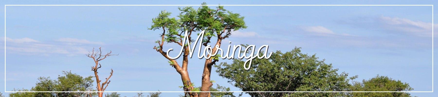 Moringabaum Afrika